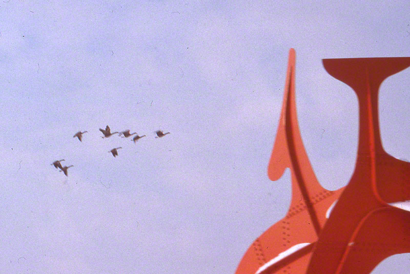 Flock of geese flying towards partial section of a Calder sculpture