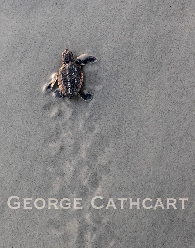 """Turtle Tracks"" by George Cathcart"