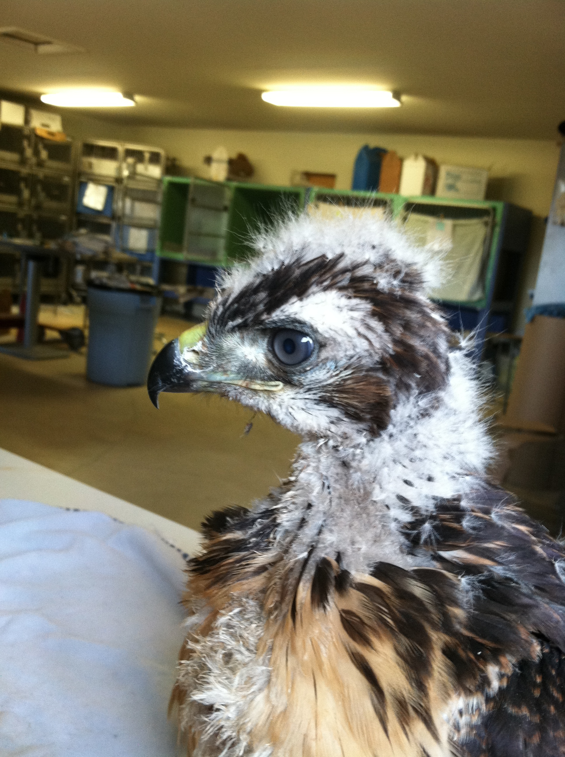 Baby Red-Tailed Hawk. My eyes are blue now, but when I mature they will turn brown