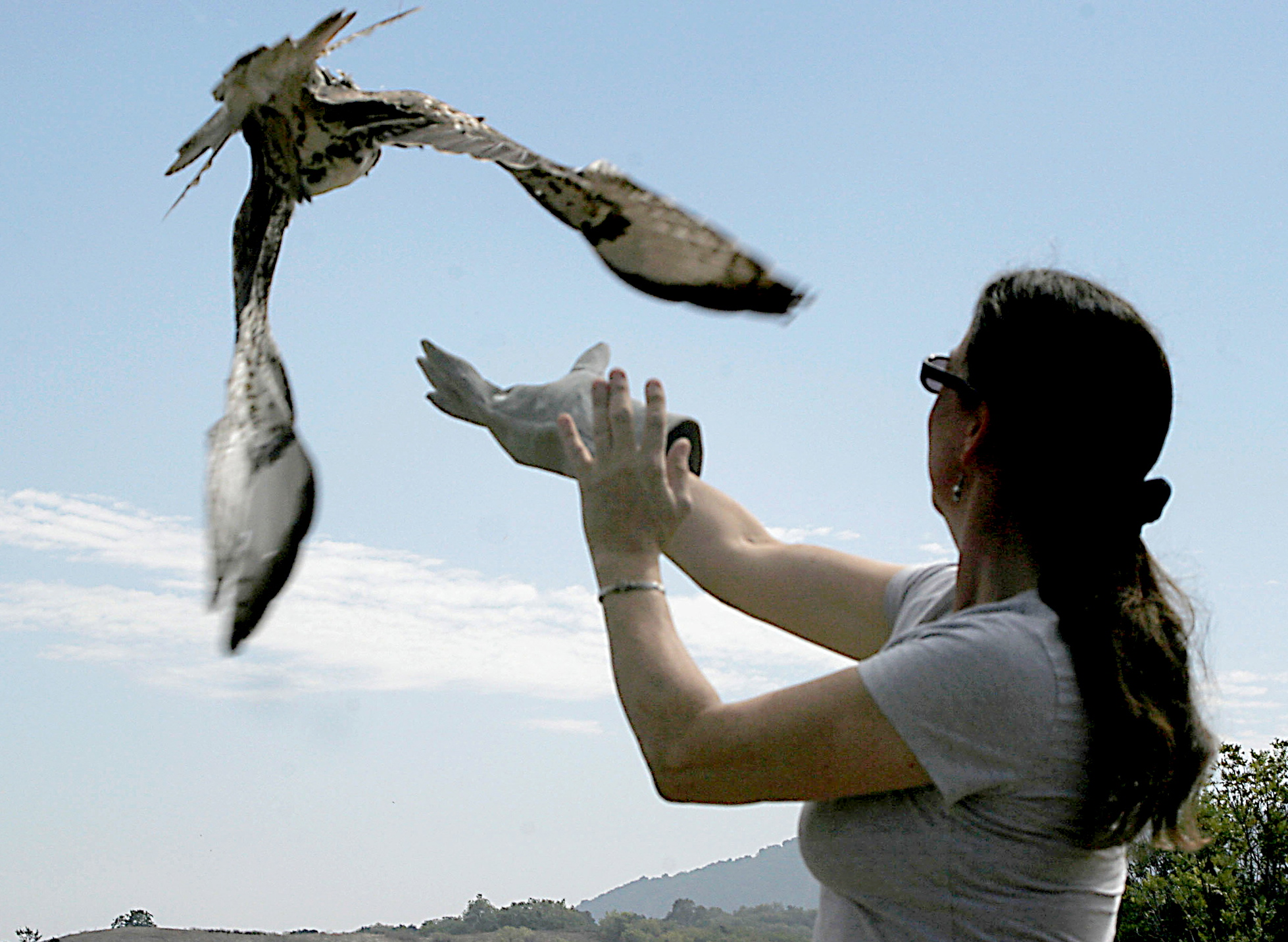 Director Kim Stroud releasing a juvenile Red-tailed Hawk