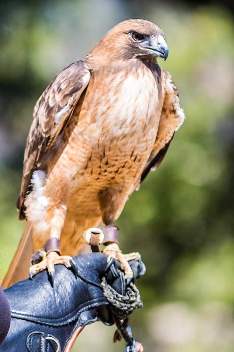 Ojai Raptor Center photos-117.JPG