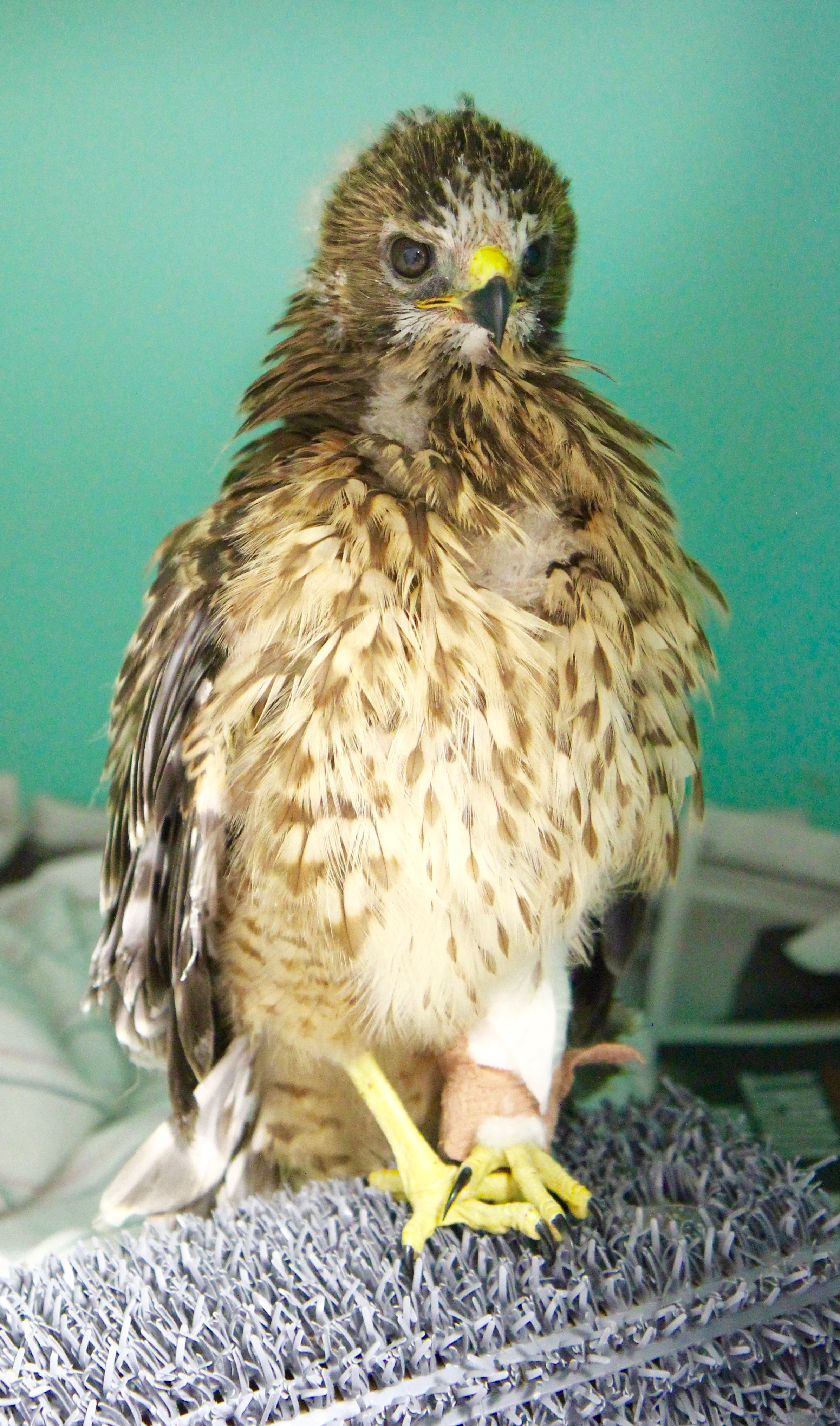 Fledgling Red-shouldered Hawk recovering from a broken leg.