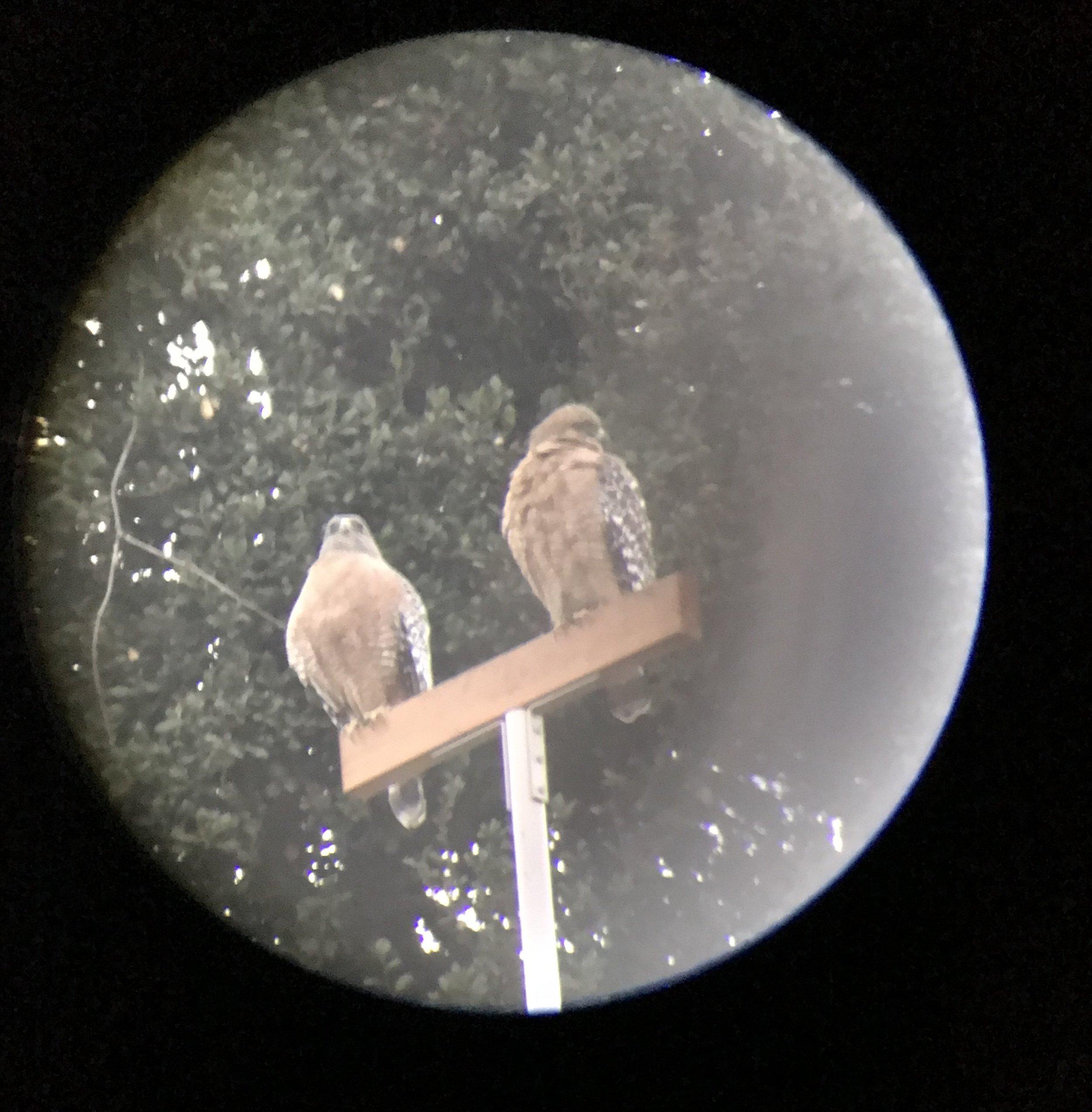 Two hawks 4.JPG