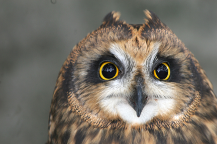 Flame- Short-eared owl