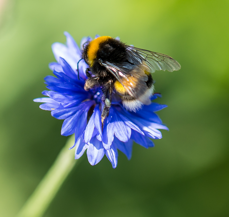 Bee on Cornflower.jpg