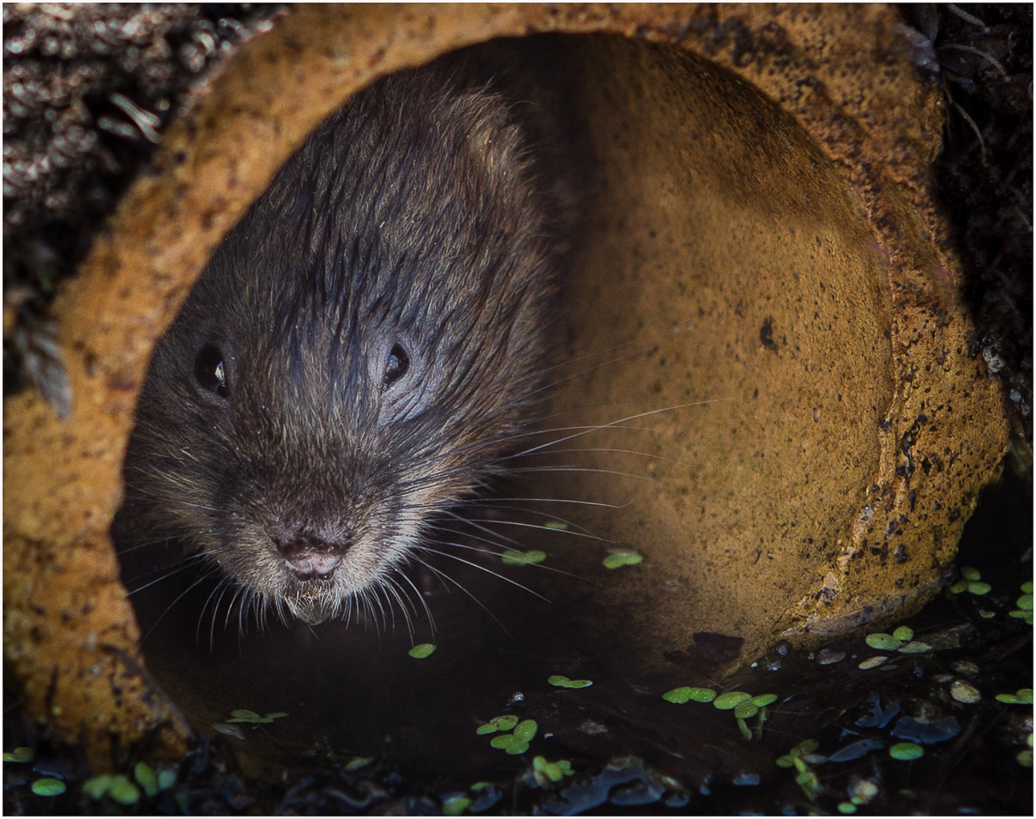 Watervole and Droplet.jpg