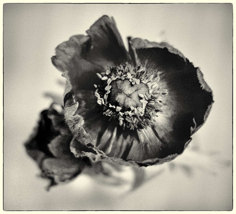 Poppy in Sepia.jpg