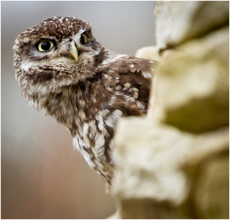 Little Owl Peeking.jpg