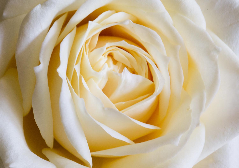 Cream Rose.jpg