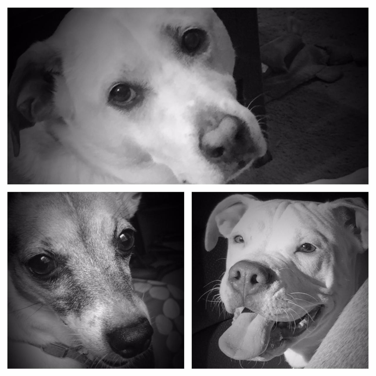 Santana [Lab mix] - top, Celine [Toy Fox Terrier]- left, Zayne [American Pitbull Terrier] - right