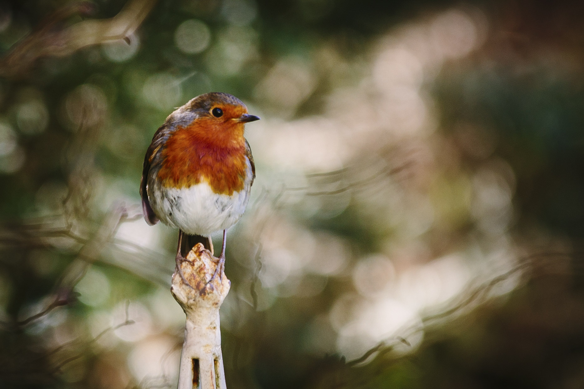 Robin Spring 01.jpg