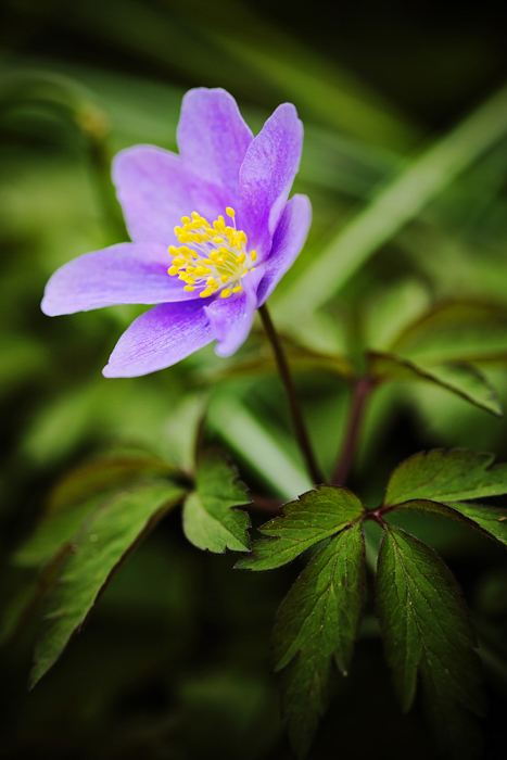 Anemone nemorosa Bowles Purple.jpg