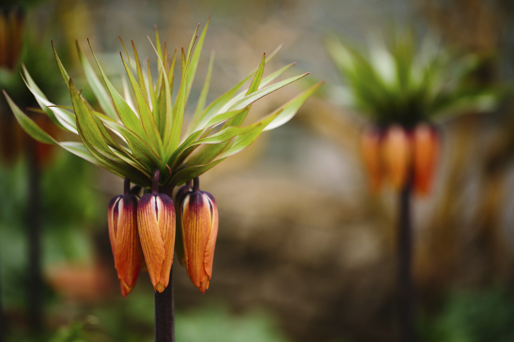 fritillaria imperialis rubra maxima01.jpg
