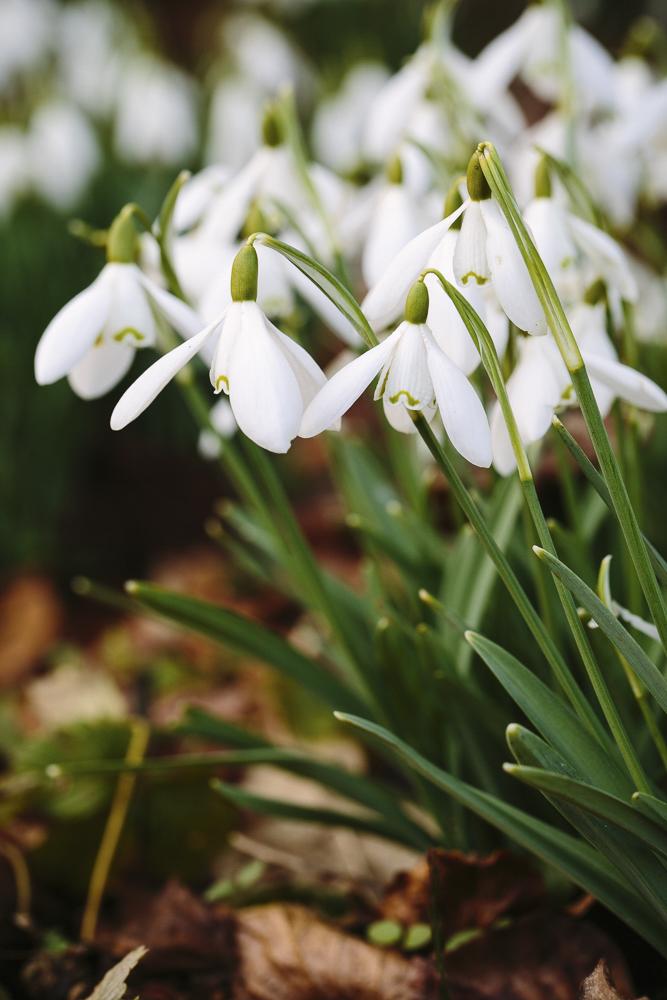 Galanthus_Nivalis_Snowdrop.jpg