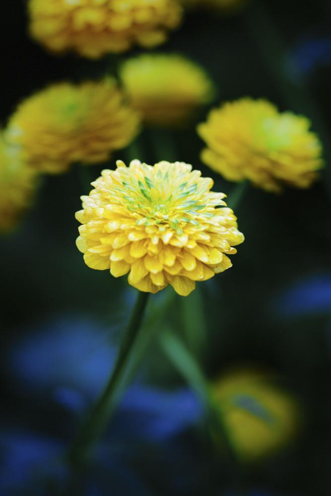 Ranunculus montanus double form01.jpg