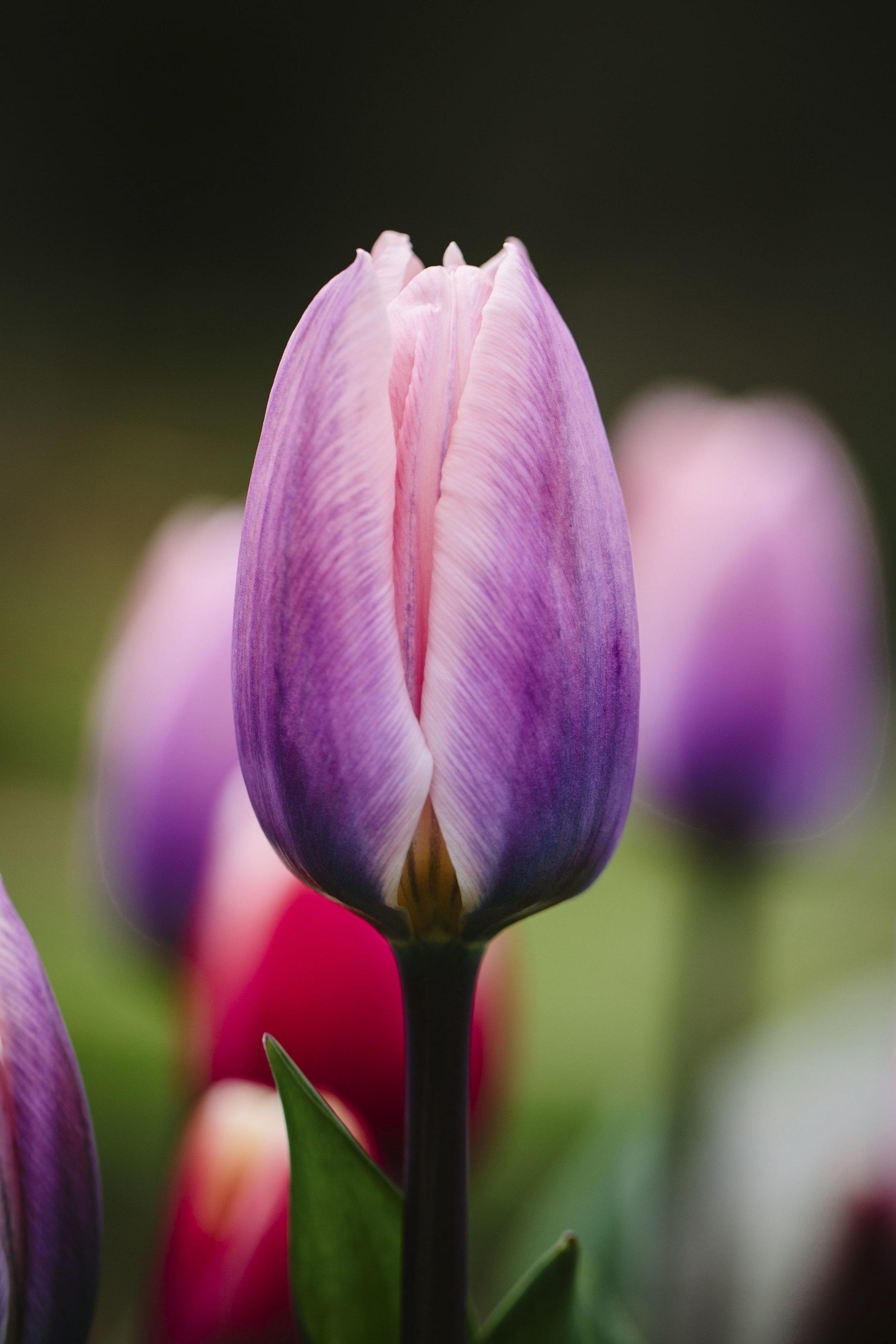 Tulipa aafke02.jpg