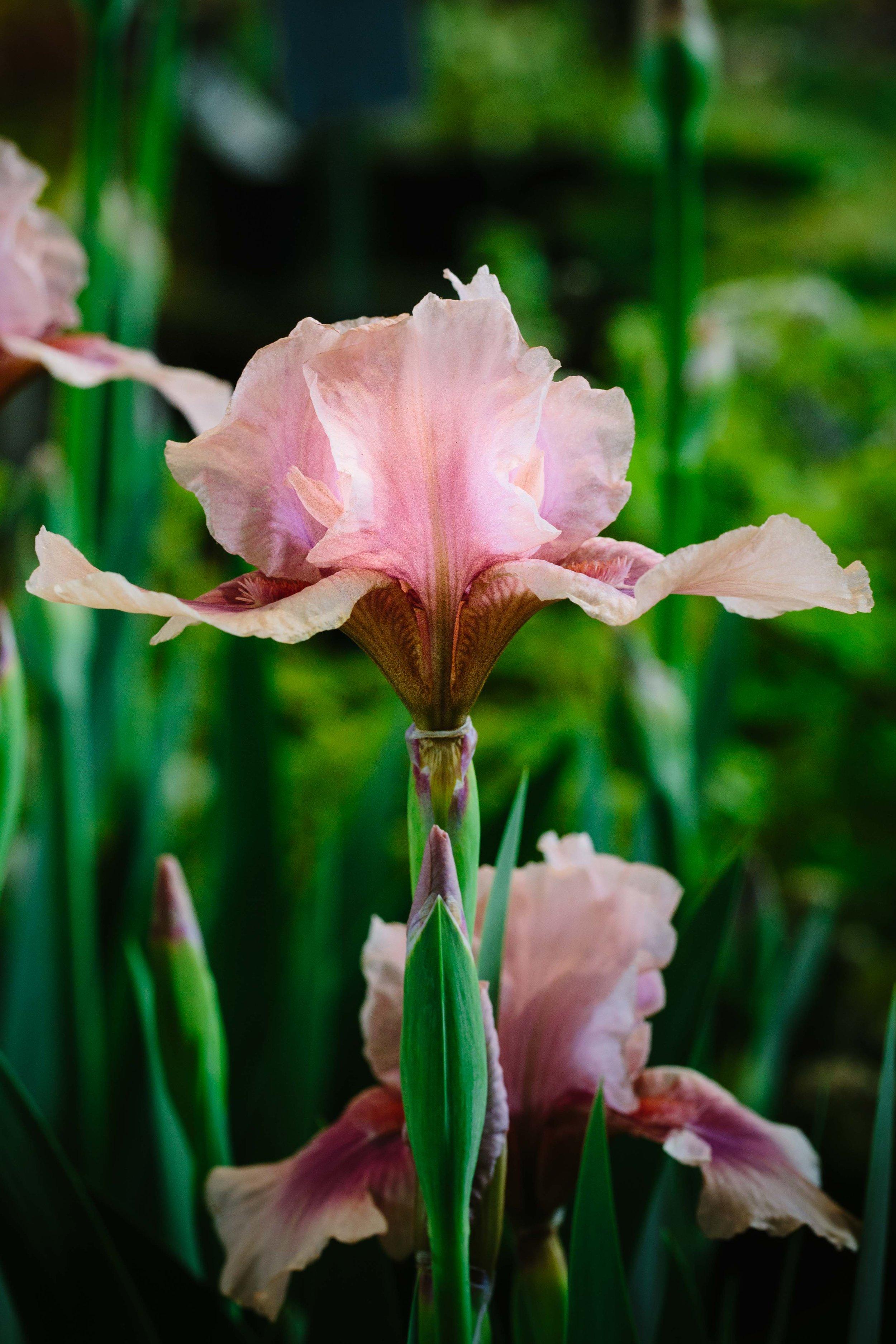 Iris Raspberry Blush01.jpg