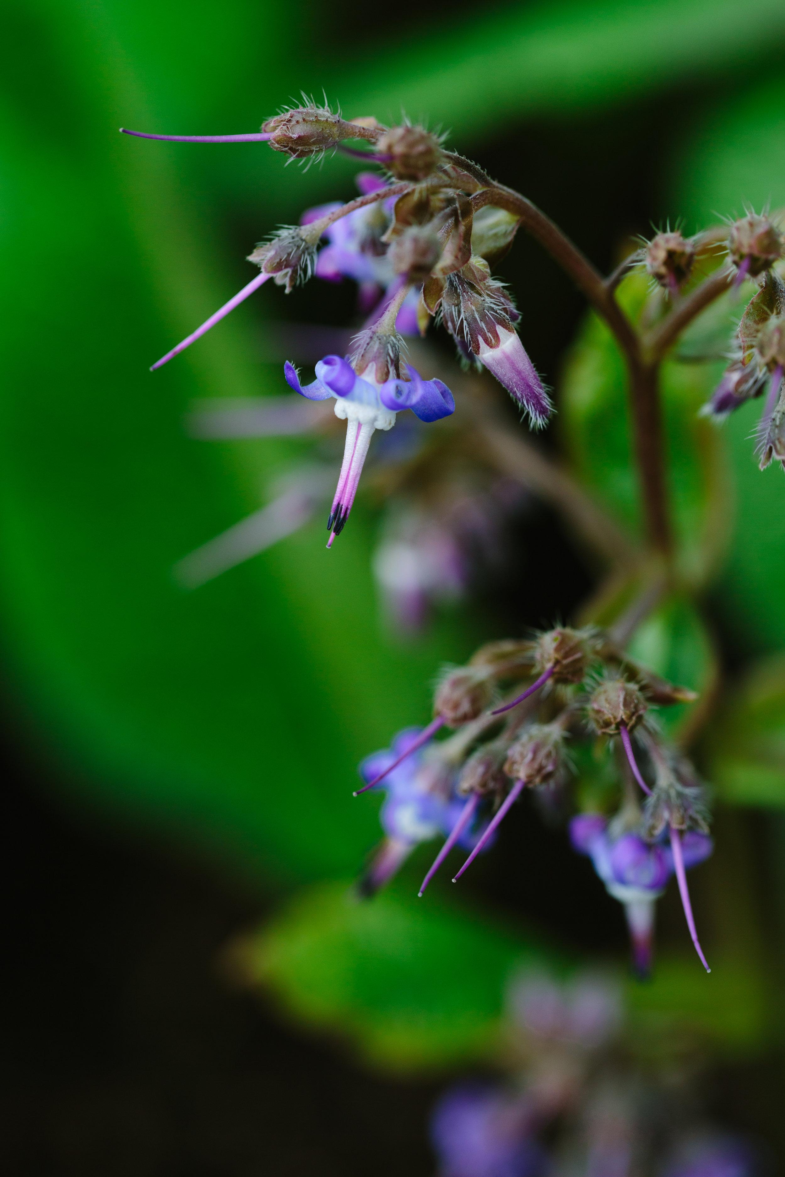 Trachystemon_orientalis02.jpg