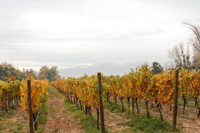 Cousiño Macul was established in 1856 and is still amongst the leading vineyards in Chile.