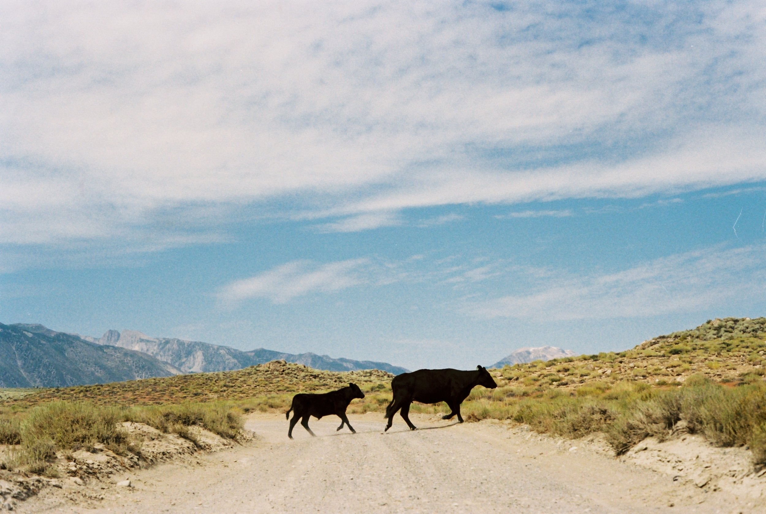Owens Valley Cows