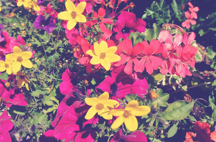 english_flowers_dover_aspiring_kennedy.jpg