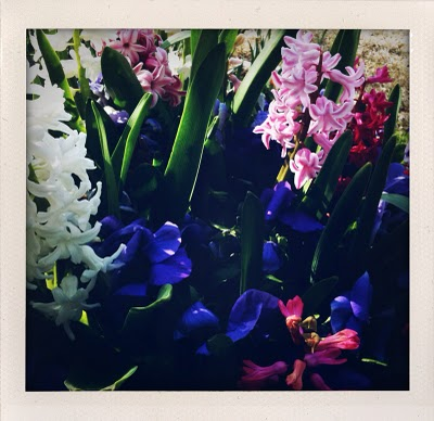 hyacinthphoto.jpg
