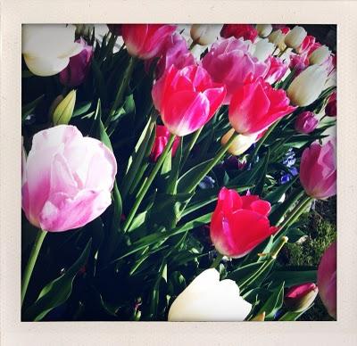 tulipsphoto.jpg
