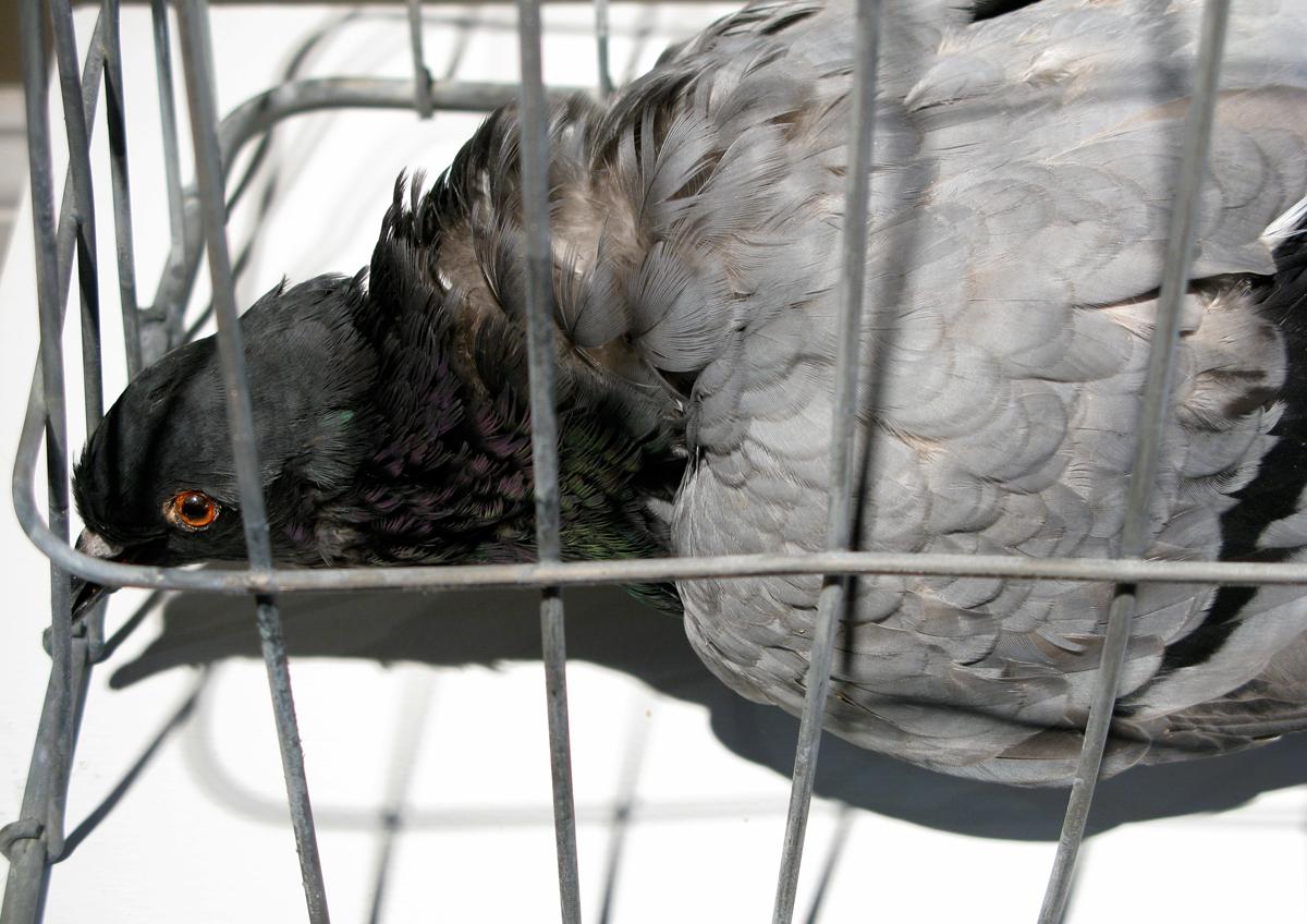 amish_photograps_pigeon_03.jpg