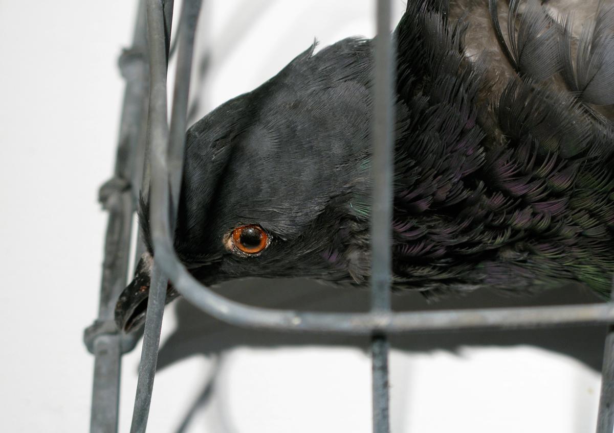 amish_photograps_pigeon_04.jpg