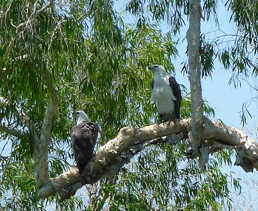 Sea Eagles in Kakadu National Park, October 2013.