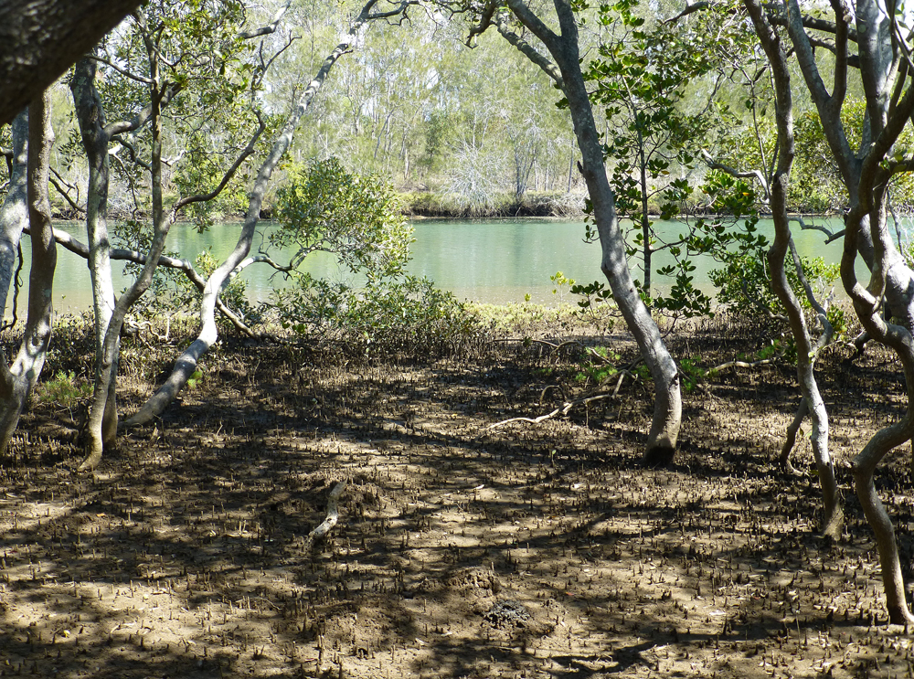 Mud flats and tidal mangrove swamps, Nudgee, Brisbane, winter 2014.