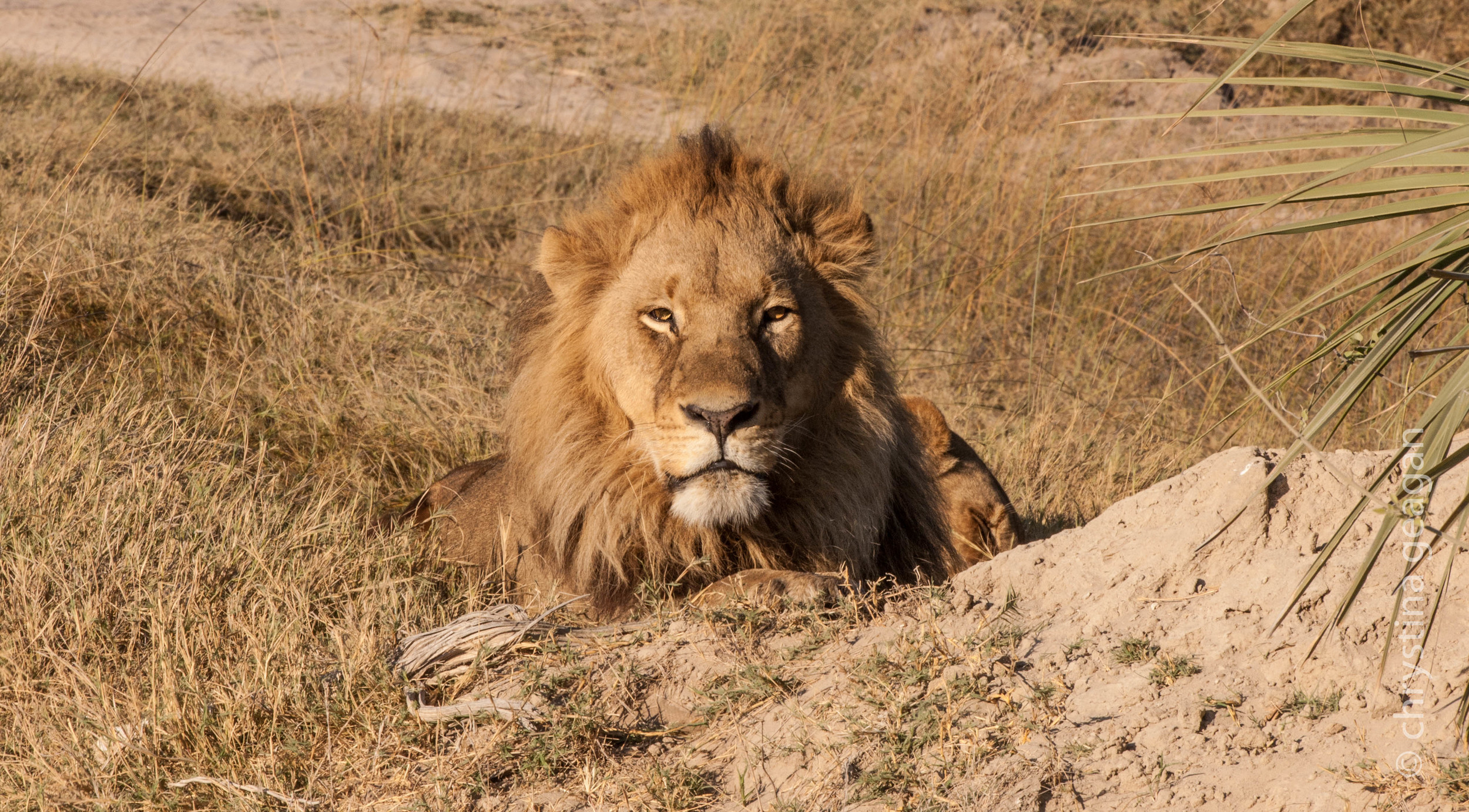 This beautiful boy was photographed by me in Botswana.  He was actually lying on an airstrip and the small bush planes were expected to just land around him while he lazily watched them flying within feet of his gorgeous head.