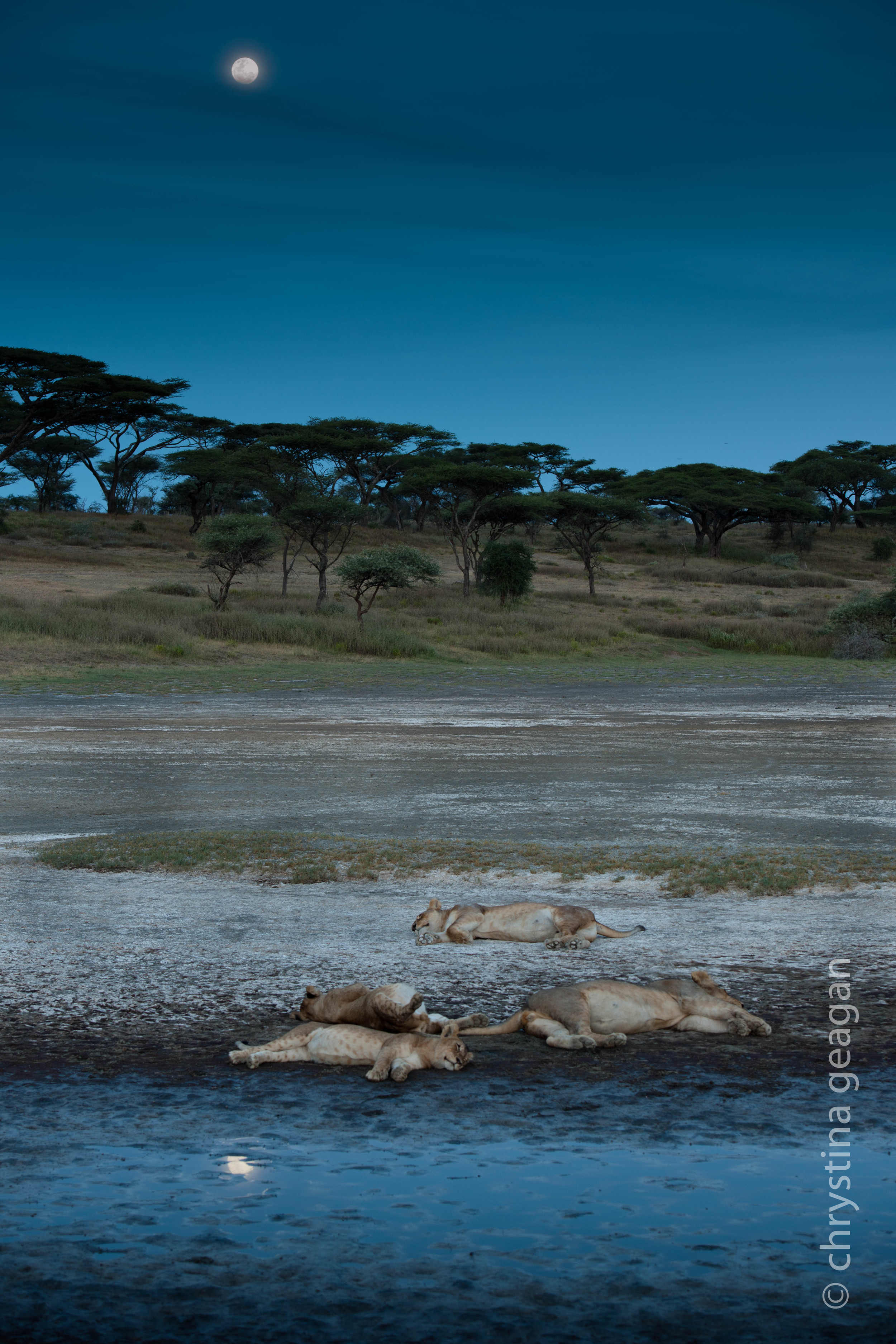 This is one of my favorite images of a pride. I photographed these cuties on the Serengeti one magical evening.