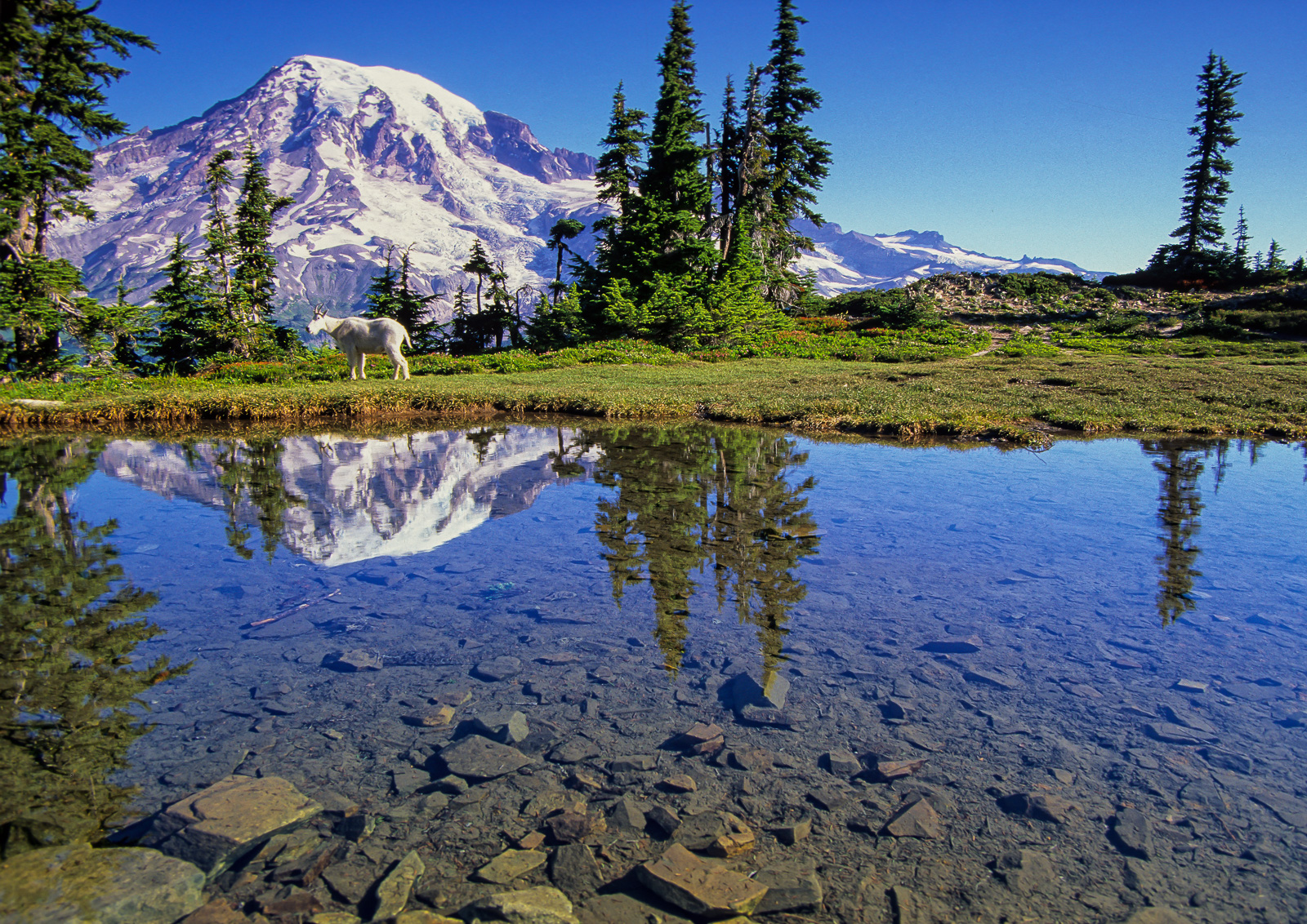 Mount Rainier and Mountain Goat Reflecting in Tarn, Mount Rainier National Park