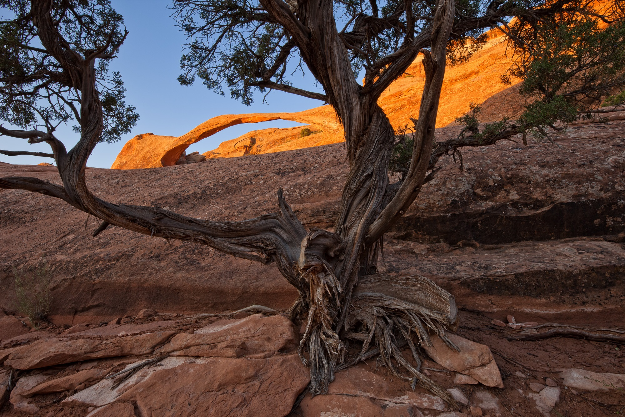 Juniper Tree Framing Landscape Arch at Sunrise, Arches National Park, Utah