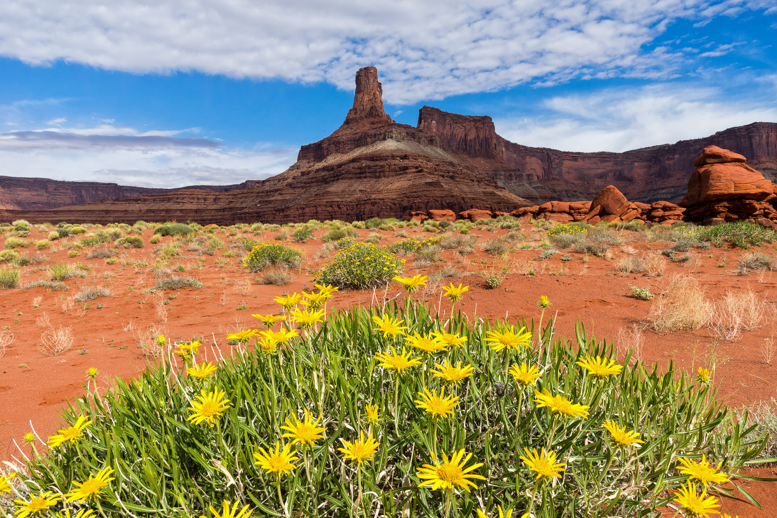 Wildflowers in Sand Dunes Below Chimney Rock - Moab, Utah