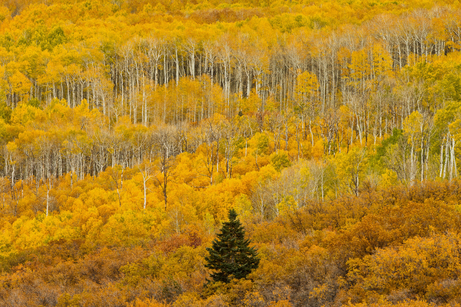 Aspen trees and gambel oak display brilliant autumn leaves in the La Sal Mountains near Moab, Utah.