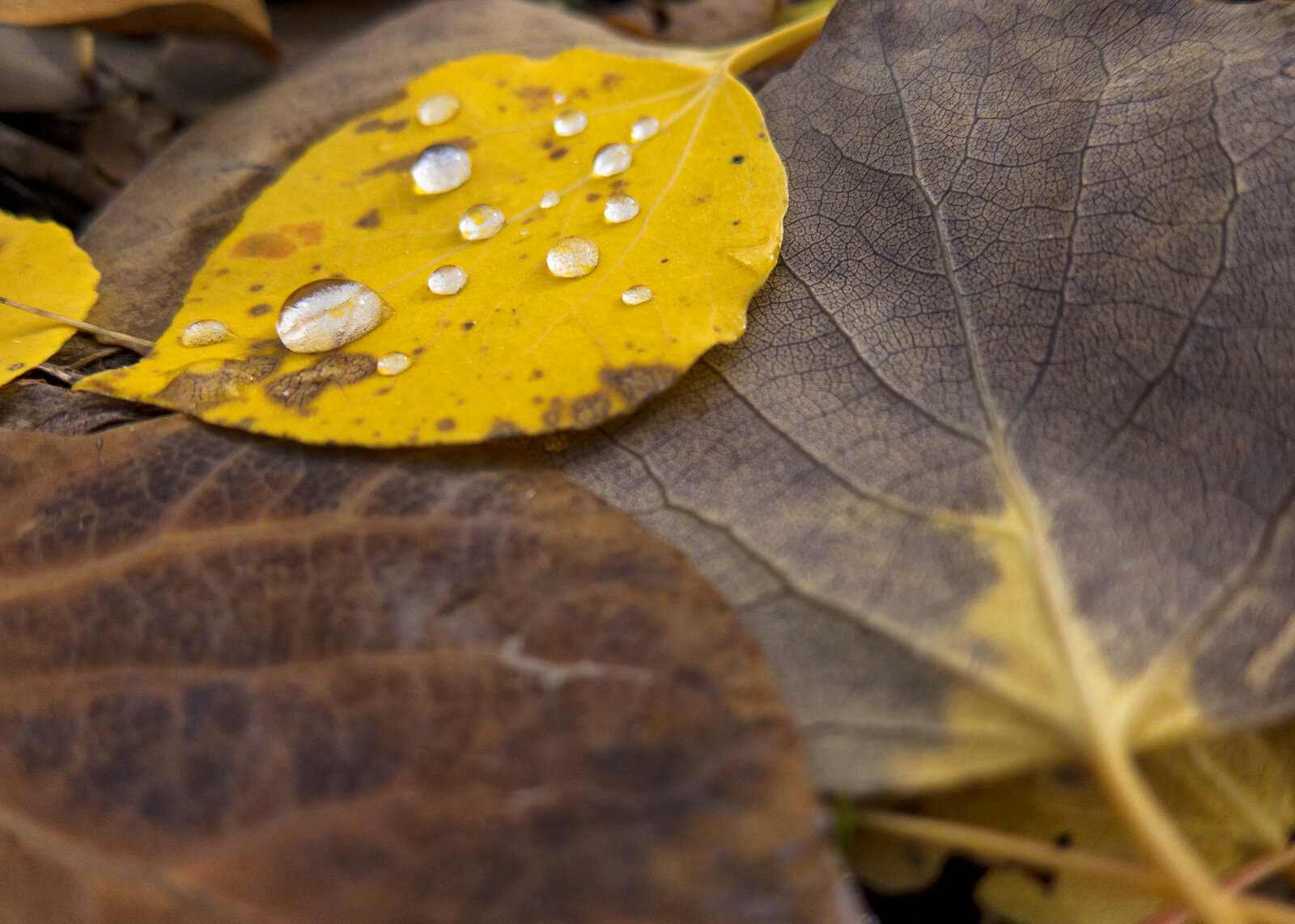Raindrops gather on a single colorful aspen leaf on a cloudy day in the La Sal Mountains near Moab, Utah.