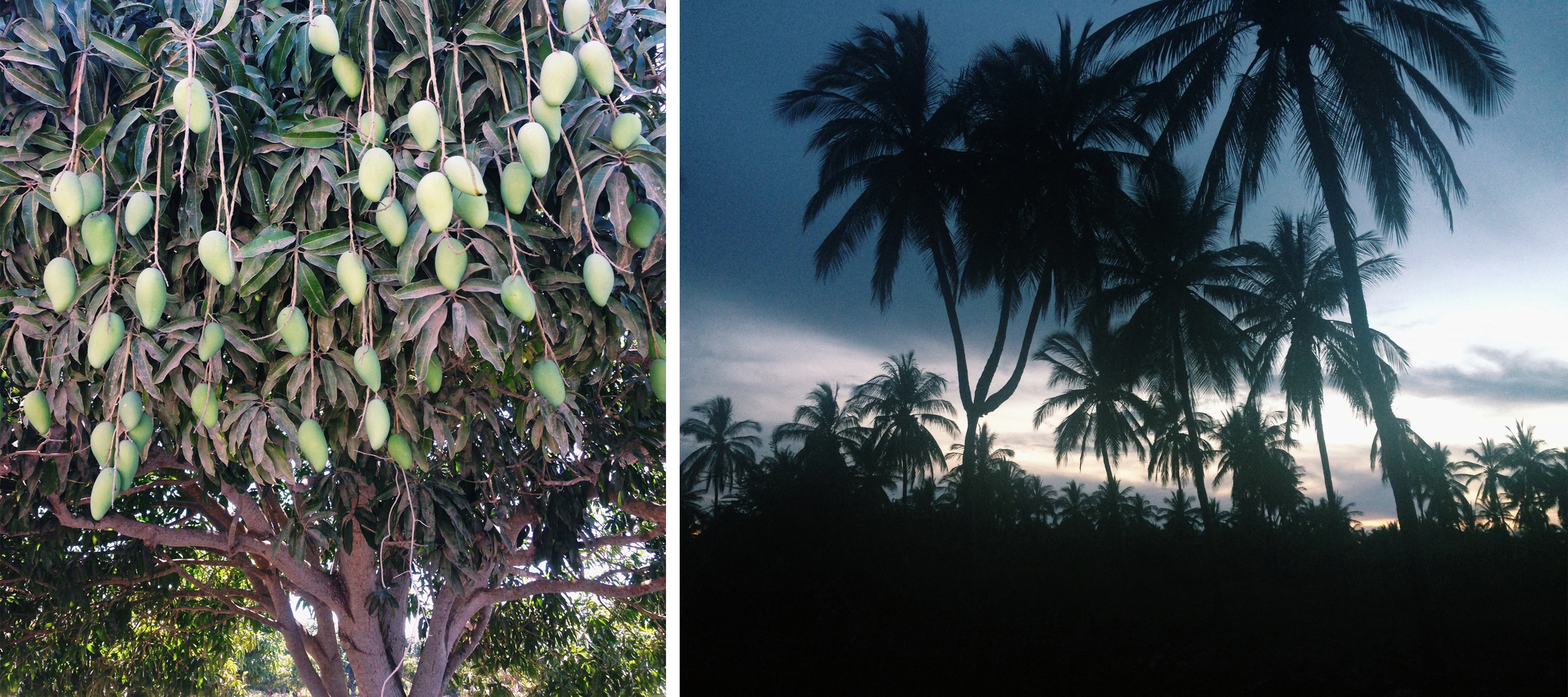 On the left a mango tree. On the right the only three headed palm tree in the world. Stone Island really is a special place.