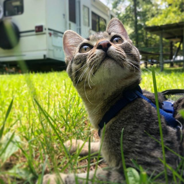 Already getting more comfortable in his new environment 🥰 . #day4 #roamingrocket #rvlife #adventurekitty #catsofinstagram #igcats #fulltimerv