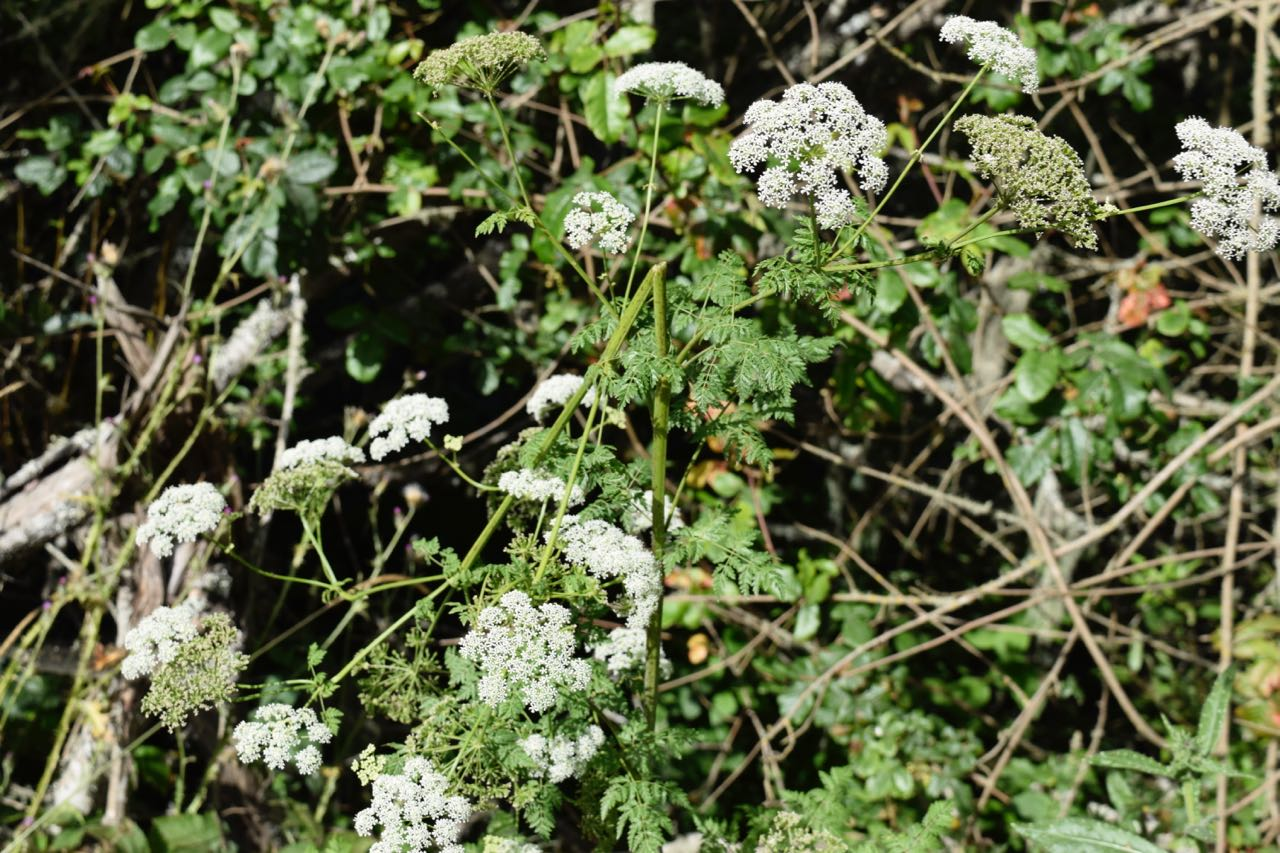 As well as some beautiful, but not so friendly, hemlock.
