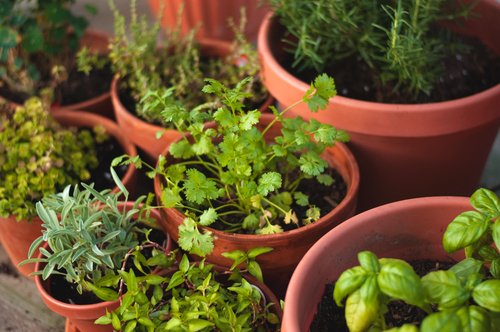 Fresh Cilantro and Other Herbs