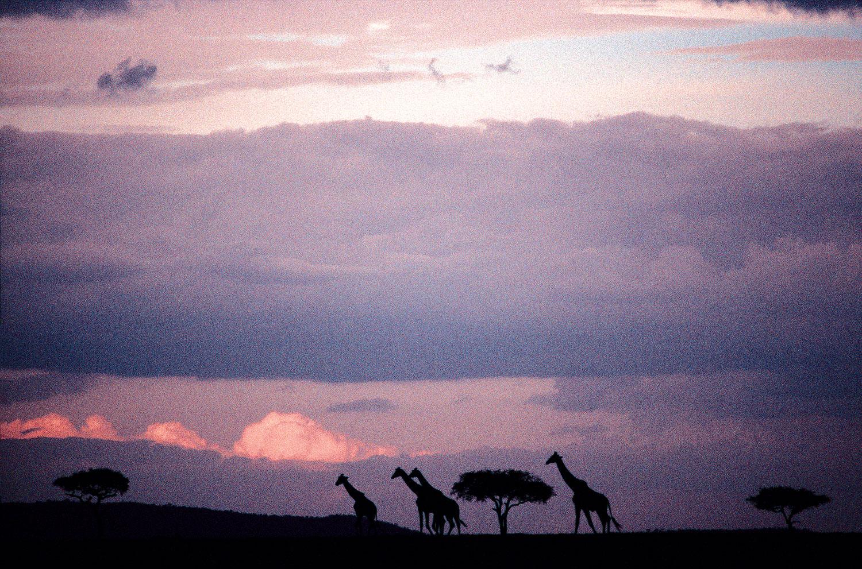 MasaiGiraffes.jpg