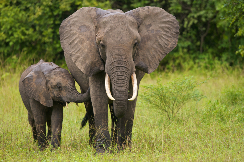 Elephants have gone the way of the dinosaur