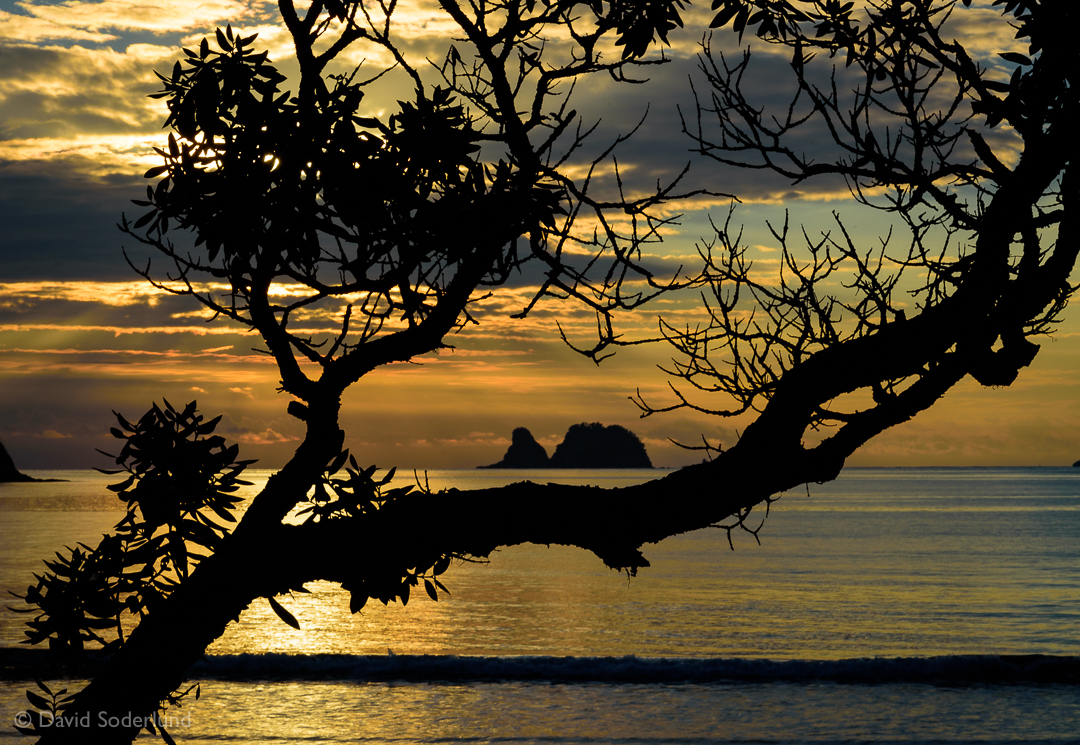 Sunrise through a pohutukawa tree at Simpson's Beach, New Zealand.