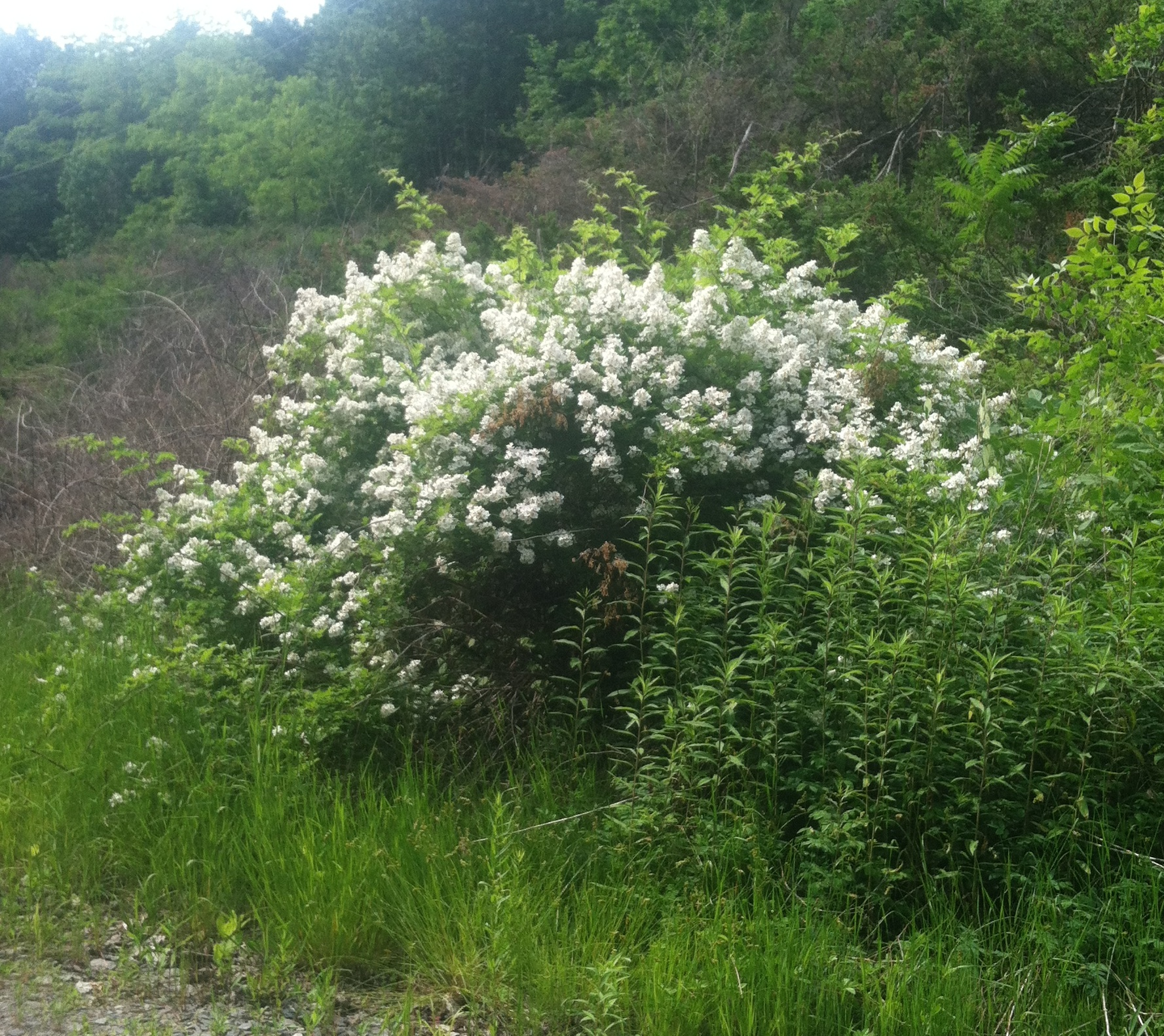 A flowering multiflora rose along a forest edge.