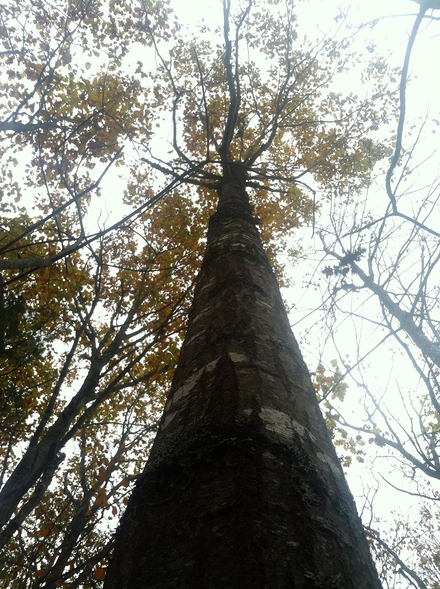 A high quality red oak in need of release.