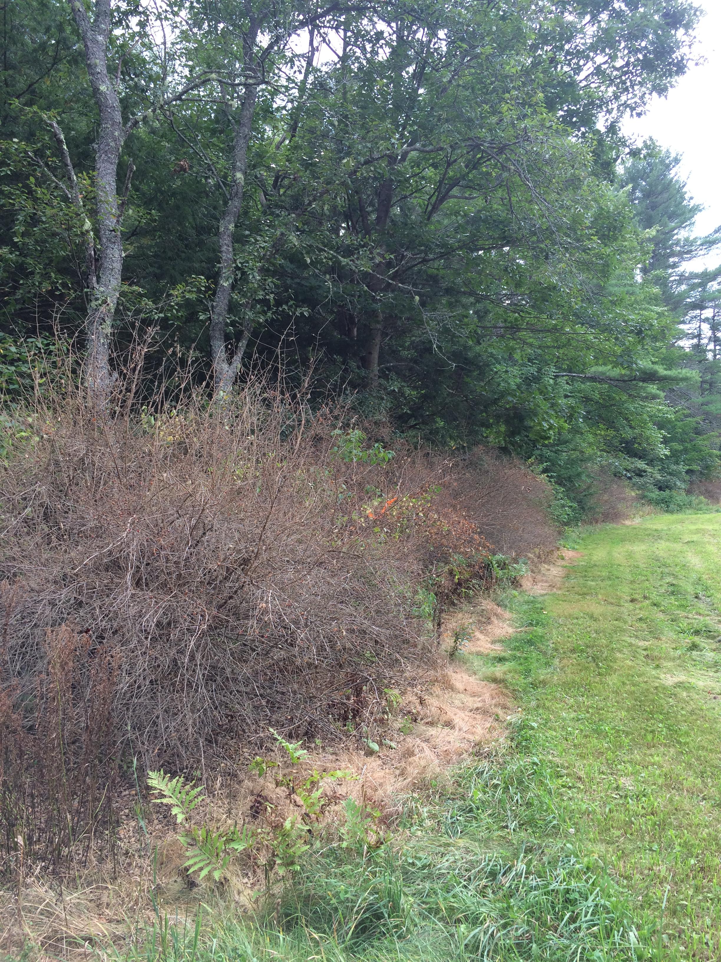 Chemically treated honeysuckle along a forest edge.