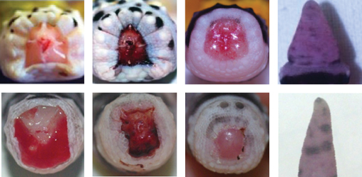 Regeneration is comparable following voluntary tail loss (=autotomy; top row) or surgical amputation (bottom row). The ability to regenerate the tail does not require autotomy.  For more information please see Delorme et al. (2012).