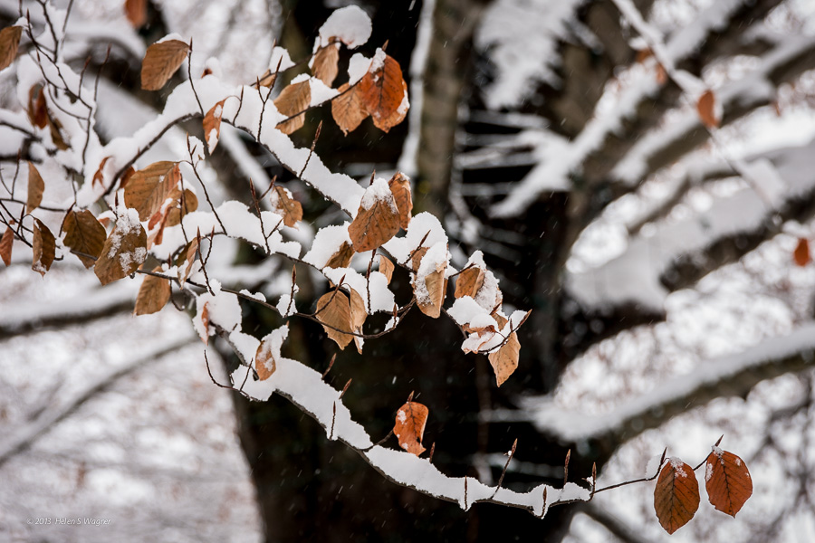 A beautiful copper beech tree  (Fagus sylvatica) laden with snow.